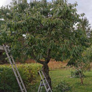 Beskärning av fruktträd