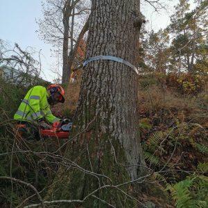 Trädfällning av stort träd